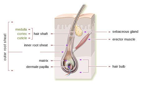 รากผม - Hair Root